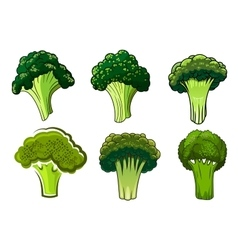 Isolated green ripe broccoli vegetables vector image