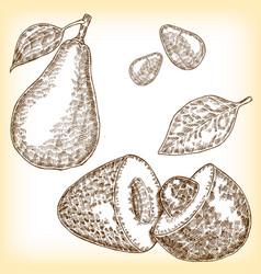 detailed hand drawn fruit avocado vector image