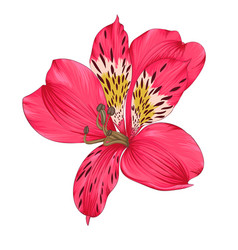 Beautiful bright pink alstroemeria with vector