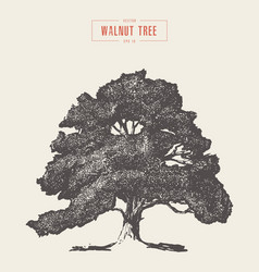 high detail vintage walnut tree hand drawn vector image