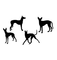 ibizan hound dog silhouette 01 vector image