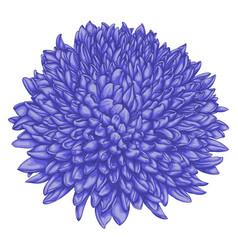 beautiful chrysanthemum isolated on white vector image