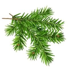 Green fluffy fir branch vector image