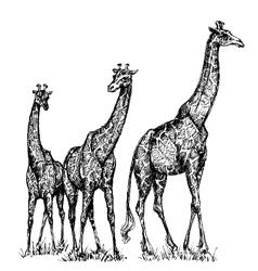 Group of giraffes vector