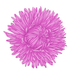 beautiful aster isolated on white background vector image