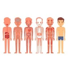 Human body anatomy Male vector image