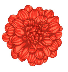 beautiful red dahlia isolated on white background vector image