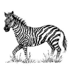 A cute zebra vector image