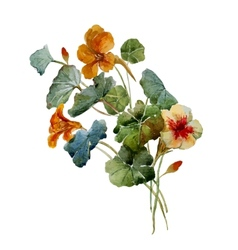 Nasturtium watercolor vector image