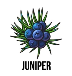 Juniper berries sketch style vector