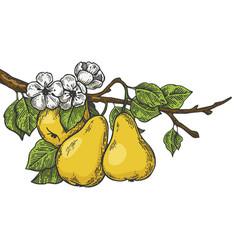 pear tree branch color sketch engraving vector image