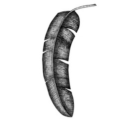 Banana palm leaf hand drawn tropical tree vector