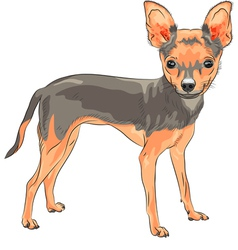 Cute dog Chihuahua vector