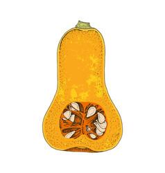 hand drawn half butternut pumpkin vector image