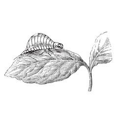Larva of the colorado beetle vintage vector