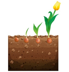 Tulip flower growing underground vector
