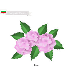 pink rose flowers the national flower of bulgaria vector image vector image