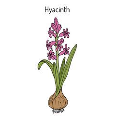 hyacinth hyacinthus orientalis flowering plant vector image vector image