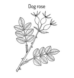 dog rose rosa canina medicinal plant vector image