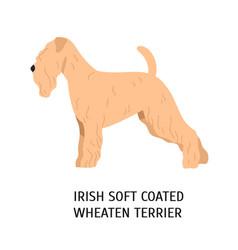 Irish soft-coated wheaten terrier lovely dog of vector