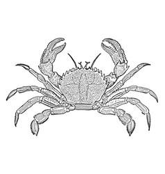 Velvet crab vintage vector