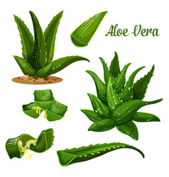 Aloe vera plant and leaf cut with juice drops flow vector