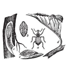 Apple root weevil vintage vector