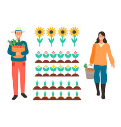 Woman and man working on field sunflowers plants vector