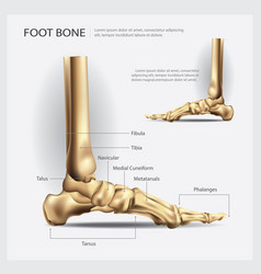 Foot bone vector
