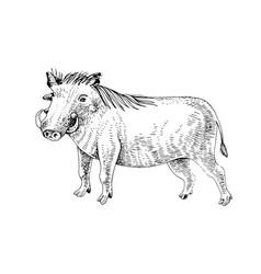 hand drawn warthog vector image
