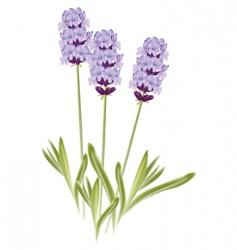 lavender flowers vector image