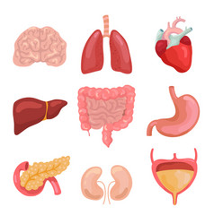 Cartoon human body organs healthy digestive vector