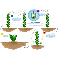 Life cycle of moss vector