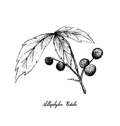 Hand drawn of allophylus edulis fruits on white ba vector