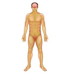 Human nervous system vector