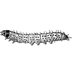 Caterpillar of the leopard moth vintage vector