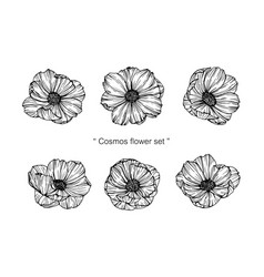 cosmos flower and leaf hand drawn botanical vector image
