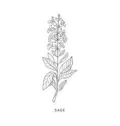 Sage Hand Drawn Realistic Sketch vector image