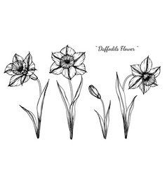 daffodils flower and leaf hand drawn botanical vector image