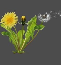 Common dandelion plant vector
