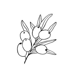 sea buckthorn branch hand drawn sketch vector image