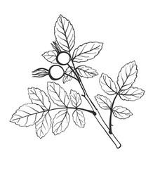 twig with leaves vector image vector image