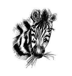 zebra in eps vector image