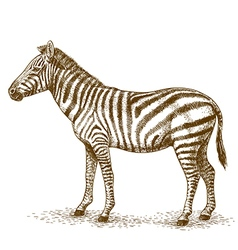 engraving zebra vector image
