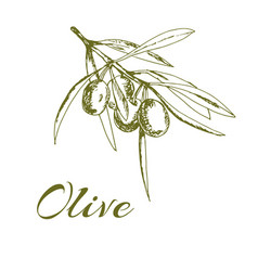 hand-drawn logo olives vector image