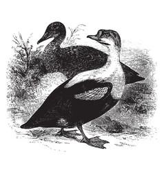 King duck vintage vector