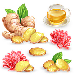 Set of a fresh ginger root vector