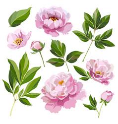 Set pink peonies vector