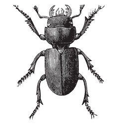 Small stag beetle vintage vector