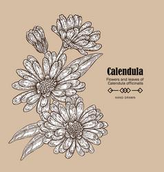 Hand drawn calendula flower medicinal herbs in vector